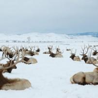 National Elk Refuge, Jackson, Wyoming, USA