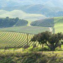 Vineyard, Paso Robles, Santa Barbara and the Central Coast, California, USA