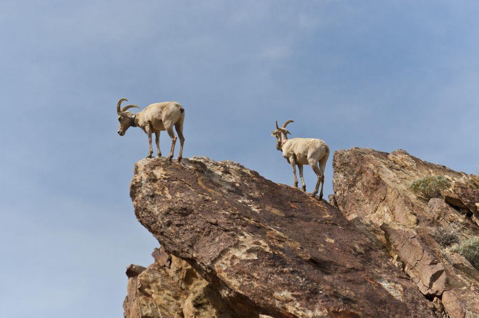 Bighorn Sheep, Desert, Anza Borrego Desert State Park, California