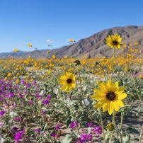 Wildflowers, Desert, Anza Borrego Desert State Park, California