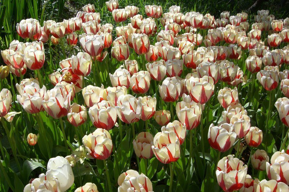 Tulips, Dallas, Texas
