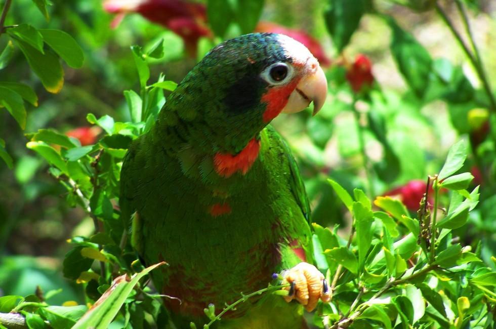Parrot, Parrot Preserve, Cayman Islands, Caribbean
