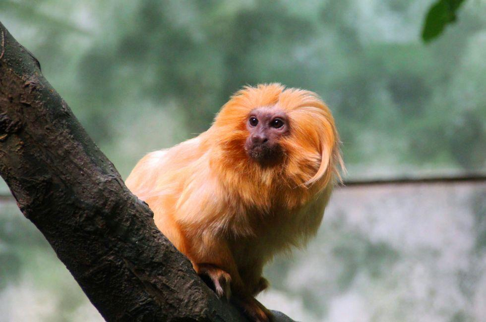 Golden Lion Tamarin Monkey, Frankfurt Zoo, Frankfurt, Germany, Europe.