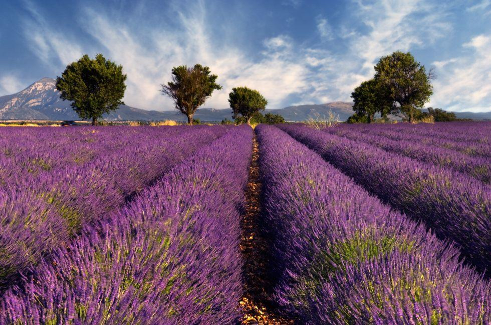 Lavender Fields, Provence, France