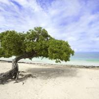 Tree, Eagle Beach, Aruba, Caribbean