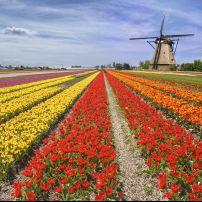 Windmill, Tulip Farm, Lisse, The Netherlands