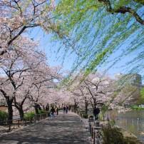 Sakura, Park, Ueno, Tokyo, Japan