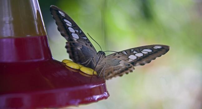 Butterfly, Butterfly Farm, St. Martin, Caribbean