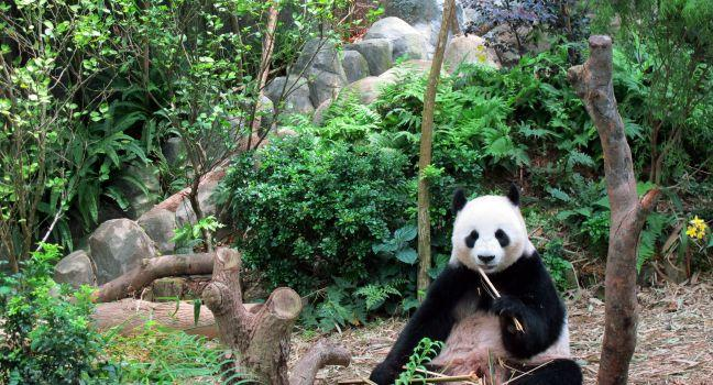 Panda, River Safari, Singapore Zoo, Singapore, Asia.