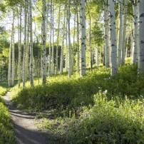 Trail, Forest, Aspen Trees, Vail Valley, Colordo, USA