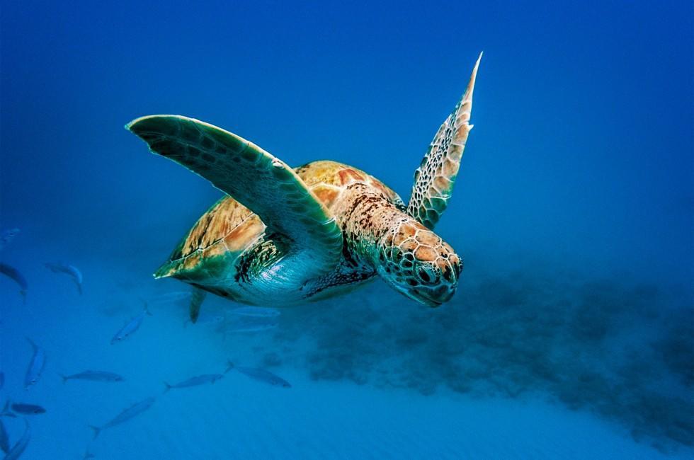 Turtle, Underwater, Barbados, Caribbean