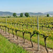 Vineyards, Haro, La Rioja, Spain