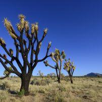 Joshua Tree, Mojave Desert, California