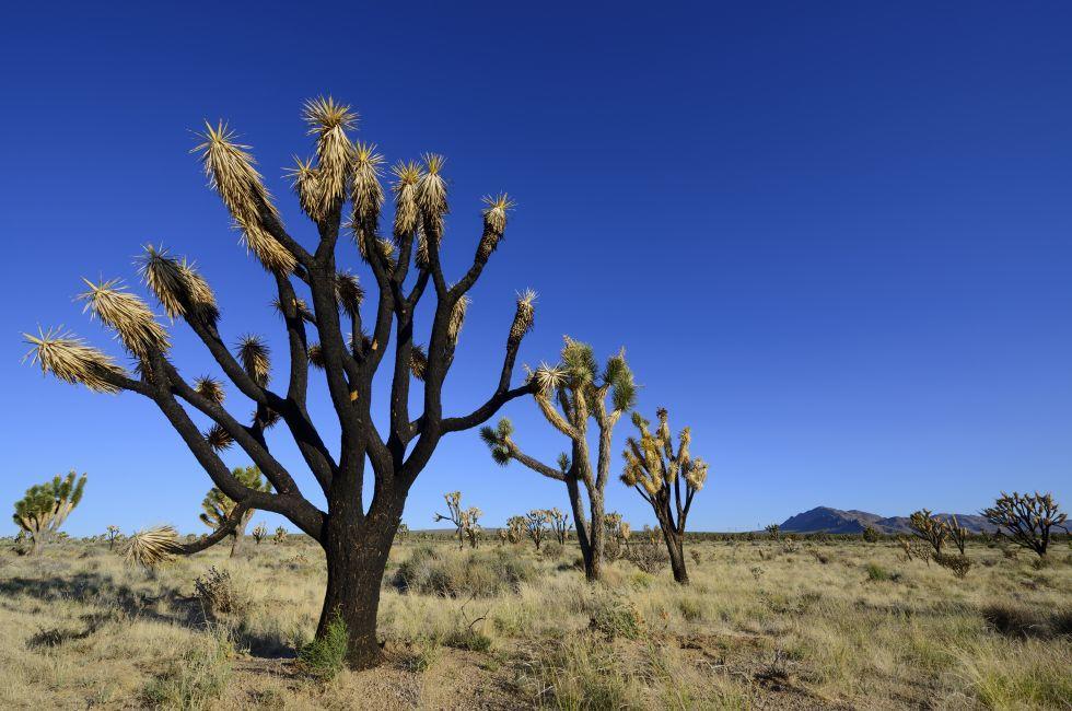 Joshua Tree, Mojave Desert, California