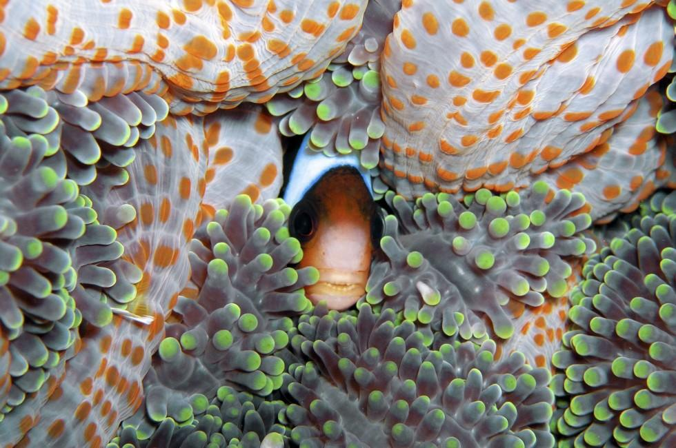 Anemone, Fish, Great Barrier Reef, Australia