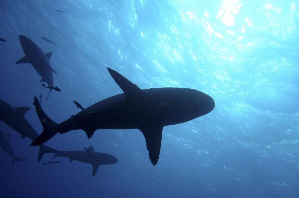 Sharks, Great Barrier Reef, Australia