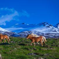 Horses, Meadow, Iceland