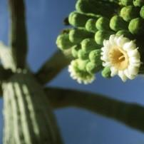Cactus, Saguaro National Park, Arizona, USA
