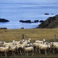 Sheep, Wainuiomata, Wellington and the Wairarapa, New Zealand