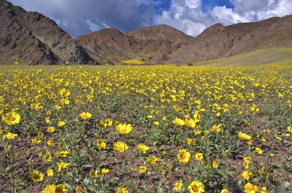 Flowers, Mountain, Death Valley National Park, California, USA