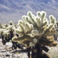Cactus, Joshua Tree National Park, California, USA