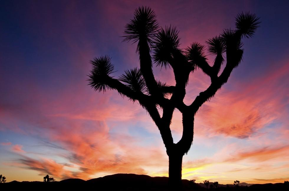 Sunset, Tree, Joshua Tree National Park, California, USA