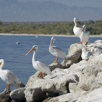 Pelicans, Rocks, Salton Sea, California