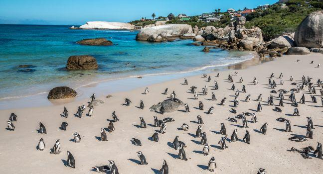 Penguins, Boulders Beach, Cape Town, South Africa, Africa