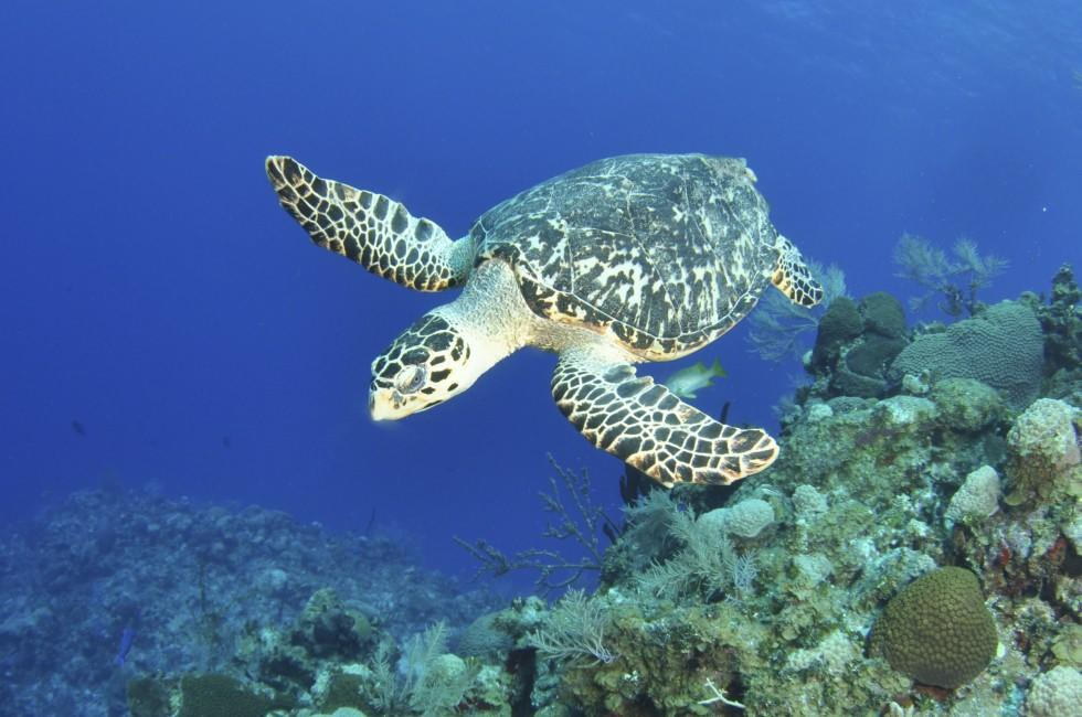 Turtle, Reef, Grand Cayman, Cayman Islands, Caribbean