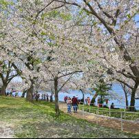 Cherry Tree Blossoms, Tidal Basin, Washington D.C., USA, North America