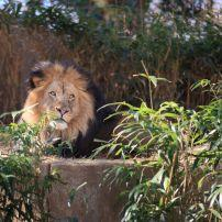 Lion, Smithsonian National Zoological Park, Washington, D.C., USA