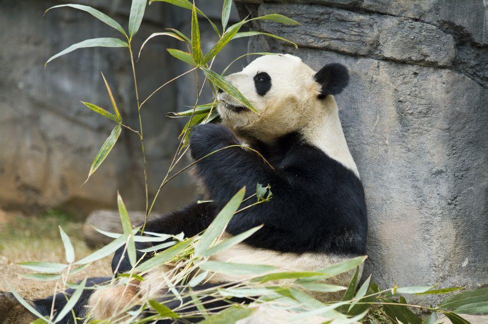 Panda, Smithsonian National Zoological Park, Washington, D.C., USA