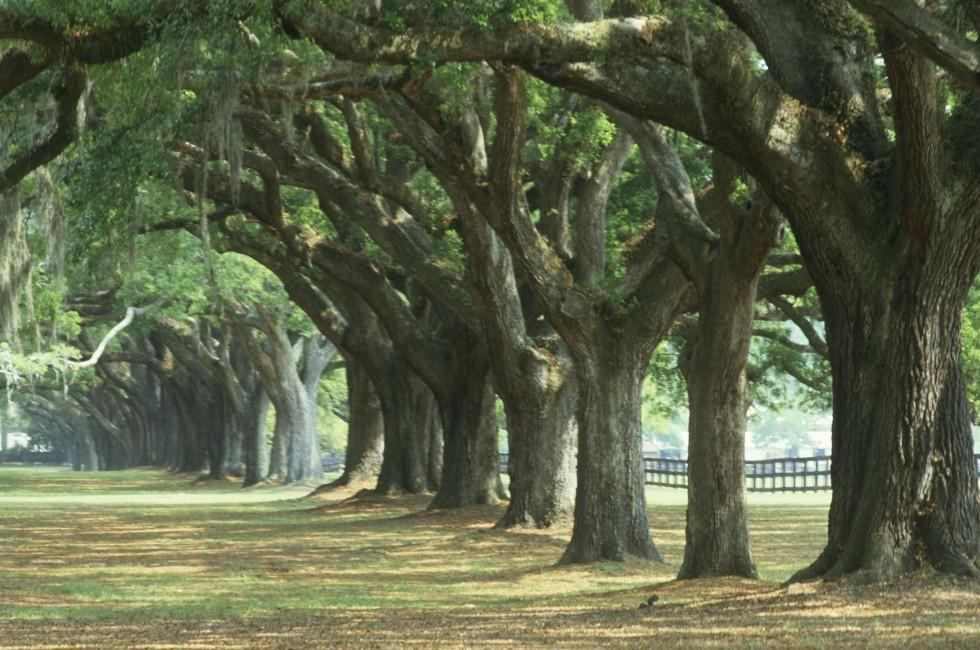 Oak Trees, Boone Hall Plantation, Charleston, South Carolina, USA