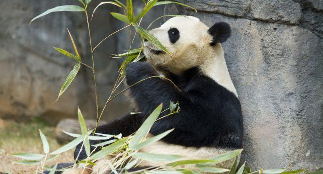 Panda, Smithsonian National Zoological Park, Washington, D.C., USA
