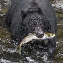 Bear, Salmon, Wrangell, Alaska, USA