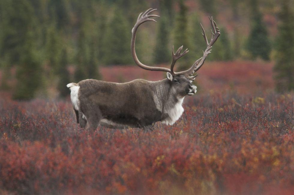 Caribou, Denali National Park, Alaska, USA