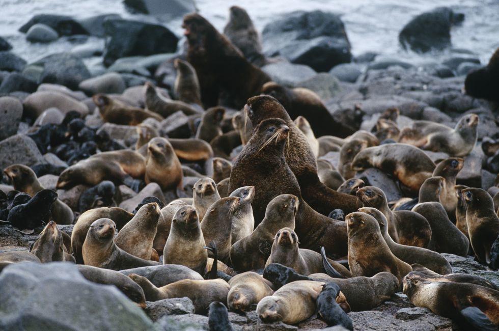 Seals, Shore, The Bush, Alaska, USA
