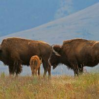 Bison, National Bison Range, Montana