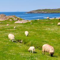 Sheep, Ring of Kerry, Ireland