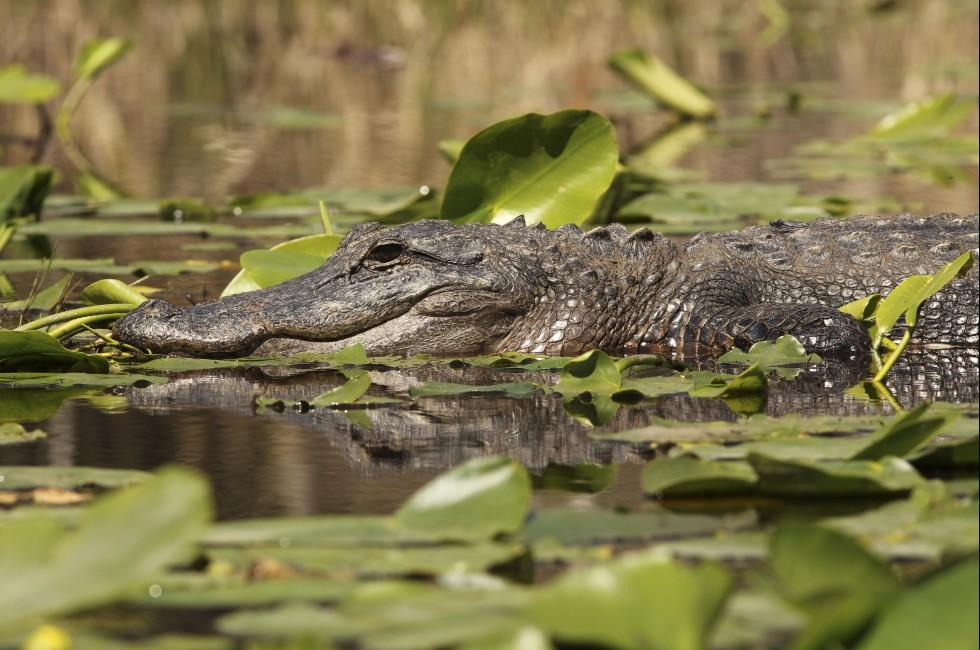 Alligator, Suwannee River, The Coastal Isles and the Okefenokee, Georgia, USA