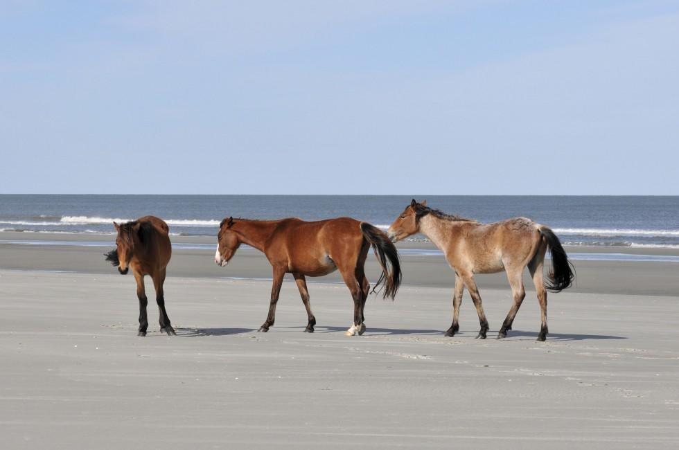 Horses, Cumberland Island, The Coastal Isles and the Okefenokee, Georgia, USA