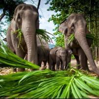 Elephants, Chiang Mai, Chiang Mai and Environs, Thailand
