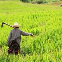 Woman, Farmer, Field, Chiang Mai, Chiang Mai and Environs, Thailand