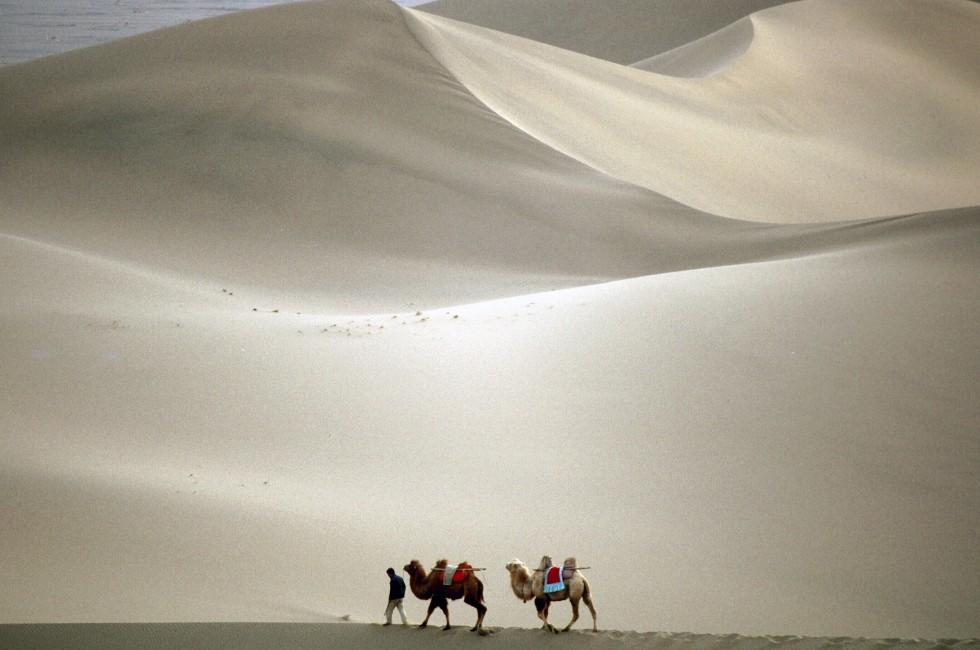 Camels, Southern Desert, Dunhuang, China