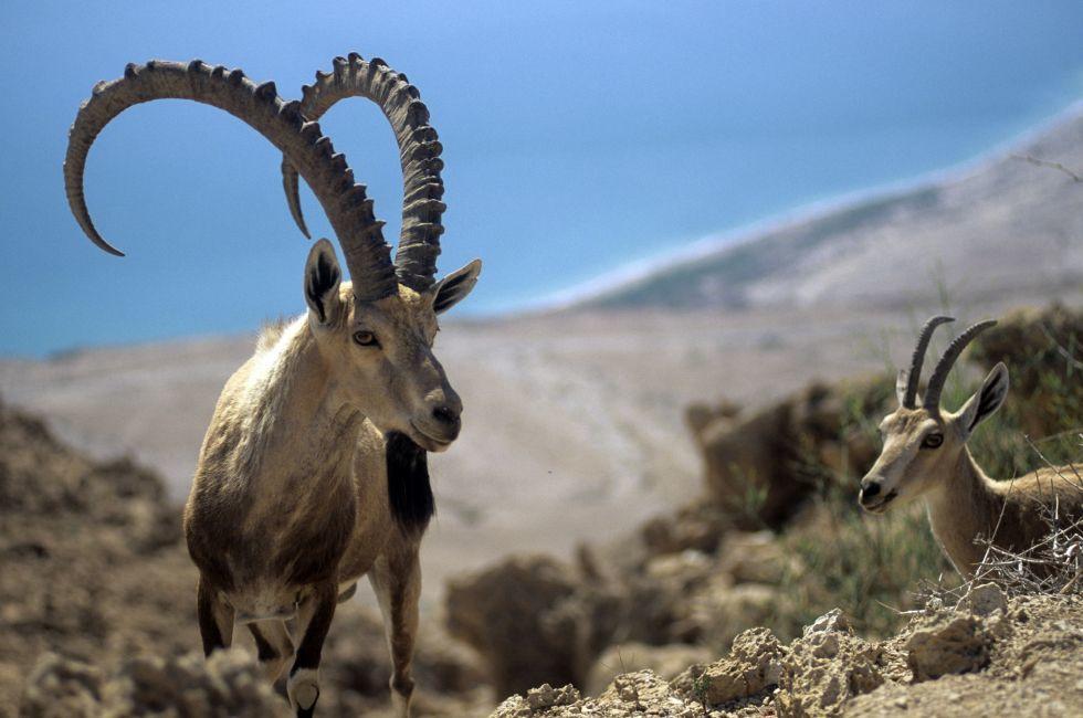 Ibex, Judean Desert, Israel