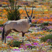 Oryx, Flower Field, Namaqualand, Northern Cape, South Africa