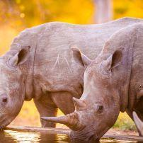 White Rhinoceroses, South Africa, Africa