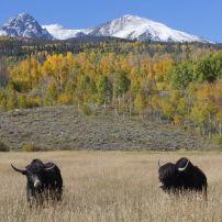 Cattle, Landscape, Summit County, Colorado, USA