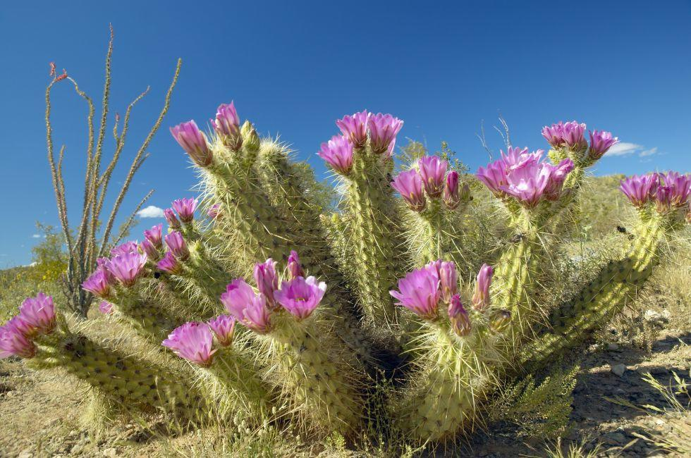 Hedgehog Cactus, Organ Pipe Cactus National Monument, Arizona