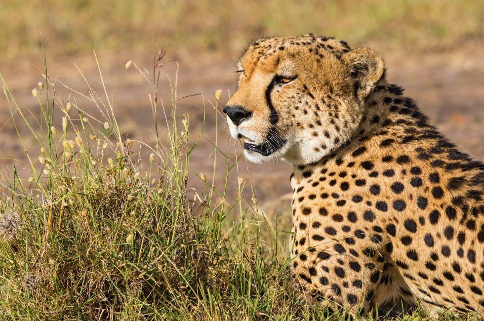 Cheetah, Savanna, Kenya, Africa